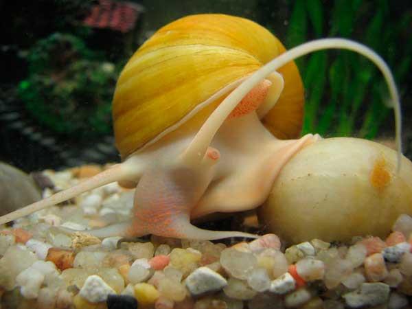 Ампулярия в аквариуме